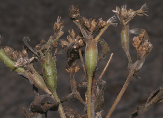 Cecidomyiidae galls (Tall Thoroughwort) - Neolasioptera perfoliata