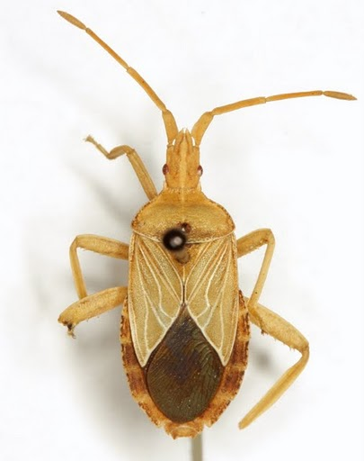 Chelinidea tabulata (Burmeister) - Chelinidea tabulata