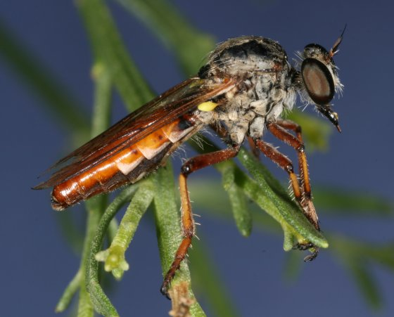 fly 87 - Heteropogon spatulatus - female