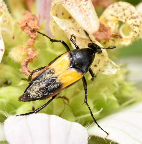 Macrosiagon flavipennis