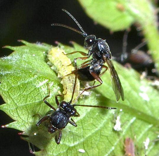 Tiny wasps injecting larva