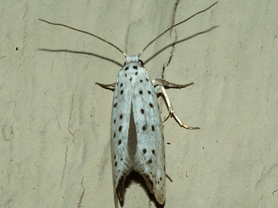 Ermine Moth - Yponomeuta
