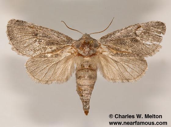 Notodontid? - Comadia bertholdi - female