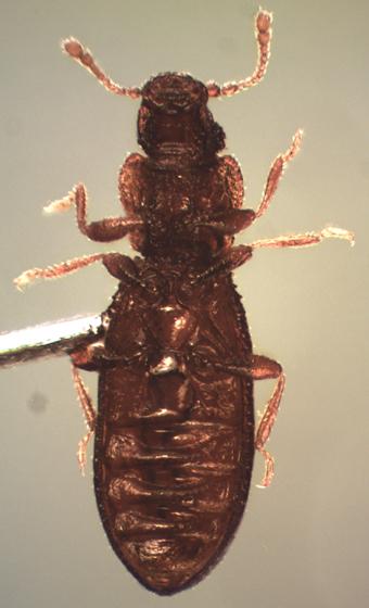 Dienerella sp. - Dienerella filum