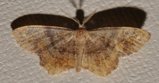 Brown and yellow moth - Hypagyrtis unipunctata - male