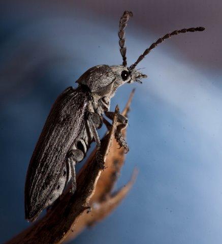 Soft-bodied Plant Beetle - Dascillus? - Dascillus davidsoni