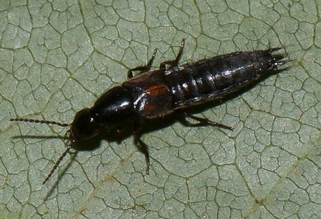 Staphylinidae ? - Philonthus sanguinolentus
