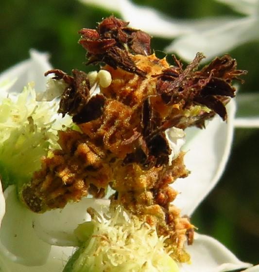 Wavy-lined Emerald caterpillar - Synchlora aerata