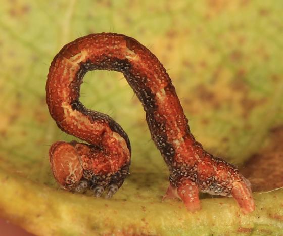 caterpillar on birch - Cyclophora pendulinaria