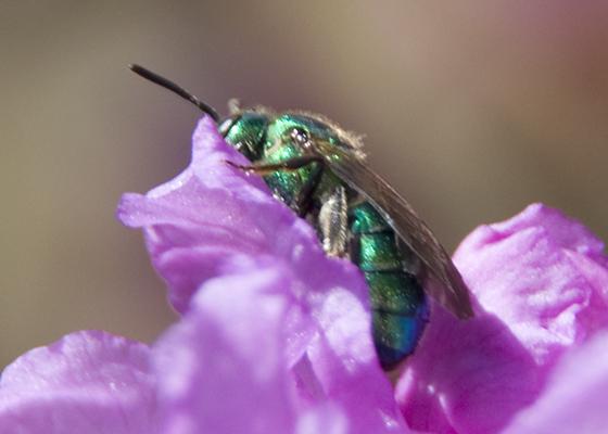 wasp? - Augochloropsis metallica