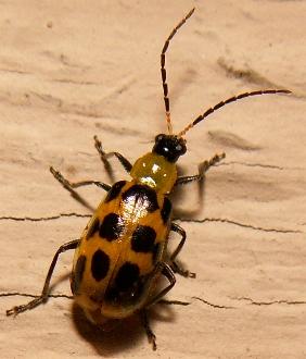Squash Bug ? - Diabrotica undecimpunctata
