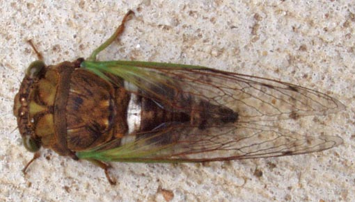 Cicada, but which one? - Tibicen tibicen