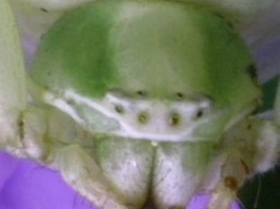 closeup 2211 - Misumenoides formosipes