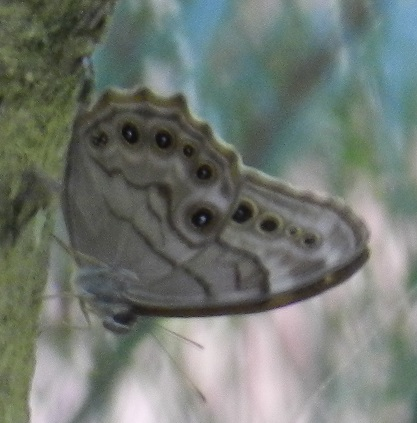 Northern Pearly Eye - Lethe anthedon