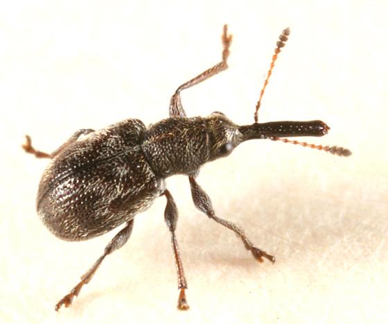 Tooth-nosed Snout Weevil - Auletobius cassandrae