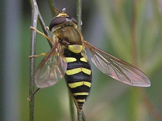 For Beatriz Moisset, - Syrphus opinator - female