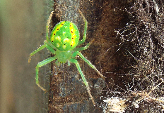 Help identifying Small Neon Green Spider with yellow stripes and red dots - Araneus cingulatus