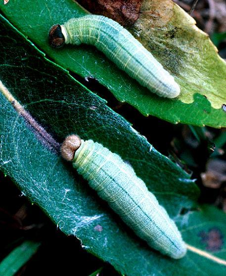 Dreamy Duskywing Larvae - Erynnis icelus