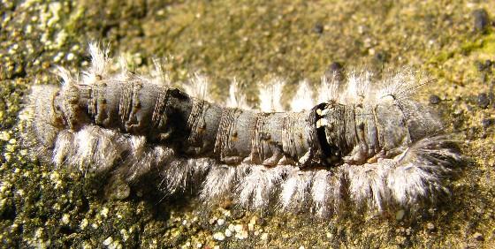 Dot-lined White Moth caterpillar - Artace cribrarius