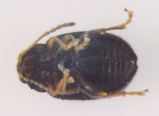 Chrysomelidae, ventral - Epitrix cucumeris