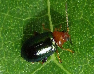leaf beetle - Palaeothona picta