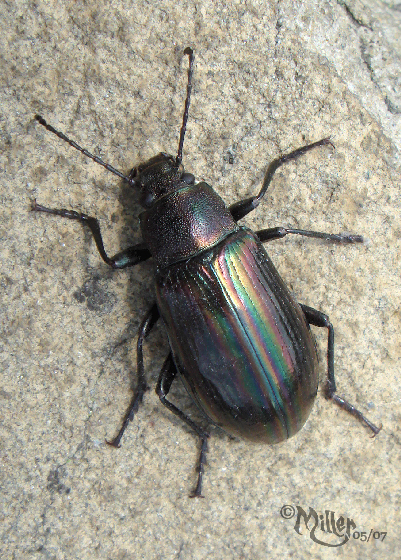 Gleaming Darkling Beetle (aka Rainbow Beetle) - Tarpela micans