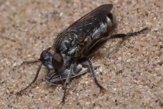 Asilid 1 - Zabrops wilcoxi - female