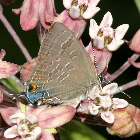 Hickory Hairstreak - Satyrium caryaevorus
