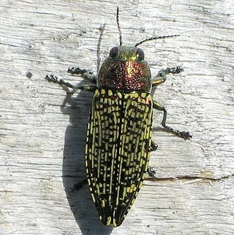 Metallic Wood Boring Beetle - Buprestis confluenta