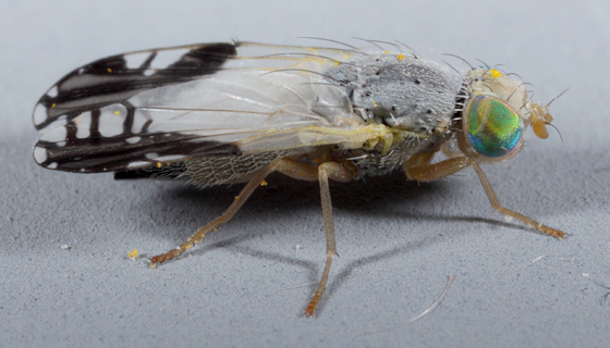 Utah-Tephrid - Trupanea bisetosa - female