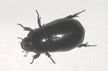 Which Dark Beetle - Dyscinetus laevicollis