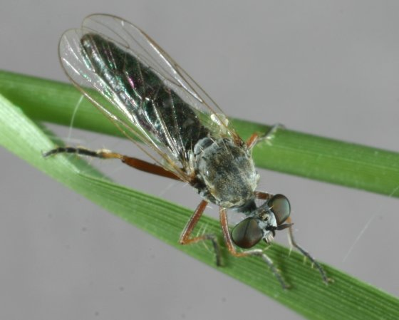 fly 100 - Cophura painteri - female