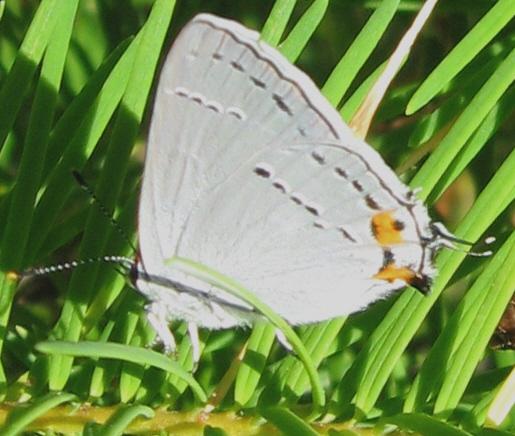 Pack Lycanidae 7.11.09 01 - Strymon melinus