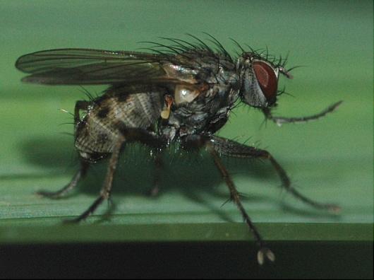 Hairy fly