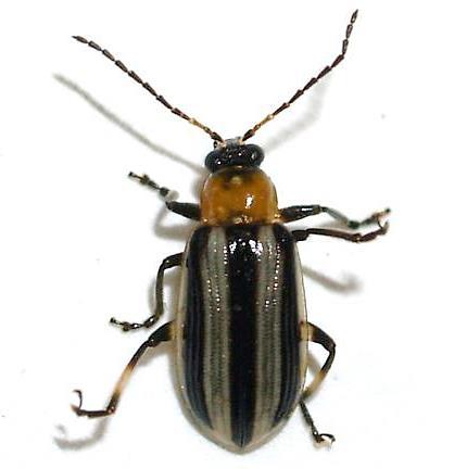 Leaf beetle - Acalymma trivittatum