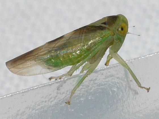 leafhopper - Idiocerus