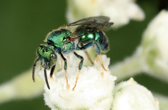 Bee - Augochloropsis metallica - male