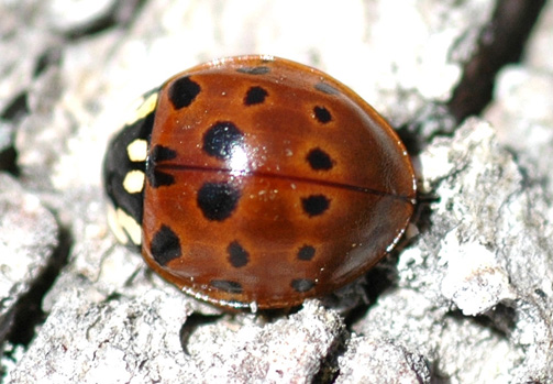 Eye-spotted Lady Beetle - Anatis mali