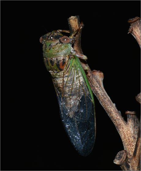 Small Cicada - Neotibicen davisi - female