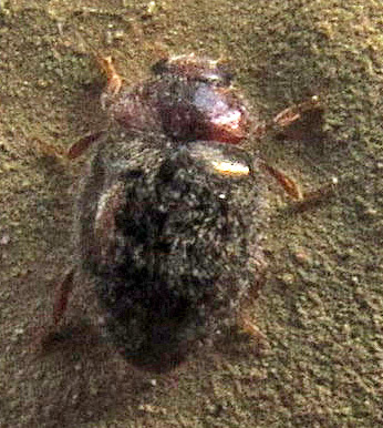 Rhyzobius lophanthae? - Rhyzobius lophanthae