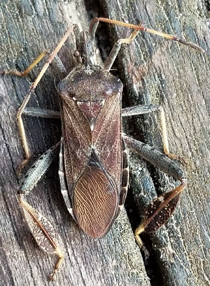 Leptoglossus corculus (Leaf-Footed Pine Seed Bug) - Leptoglossus corculus