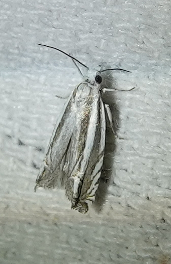 Unusual moth attracted to MV setup
