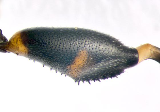 Syrphidae, hind femur - Syritta pipiens