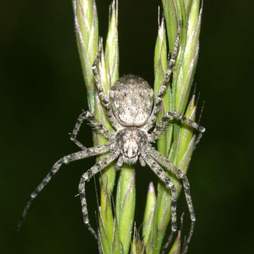 spider in the grass - Philodromus praelustris