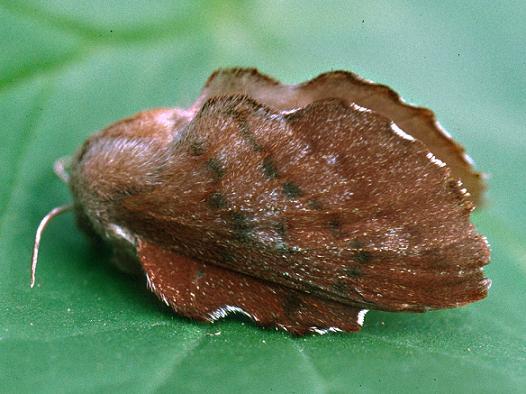 The Lappet Moth, Female - Phyllodesma americana - female