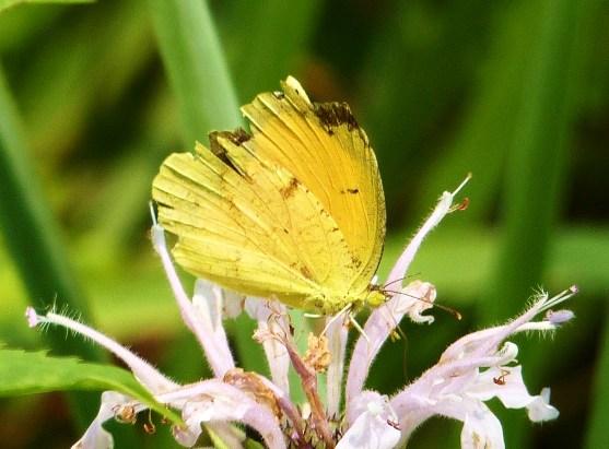 Very worn Coliadinae sp. - Abaeis nicippe