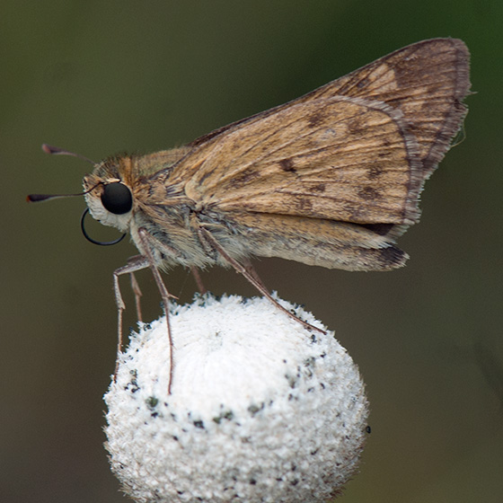 ID for a beige and brown skipper? - Hylephila phyleus
