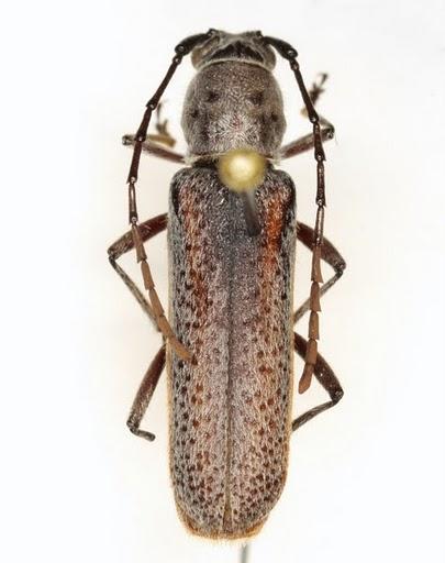 Chrotoma dunniana Casey - Chrotoma dunniana