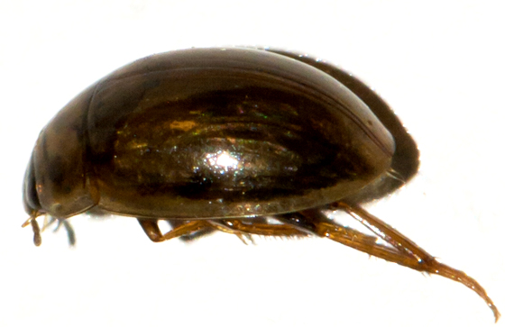 Small Hydrophilidae - Enochrus