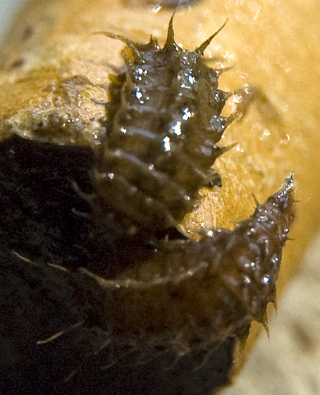 Are these larva? - Fannia